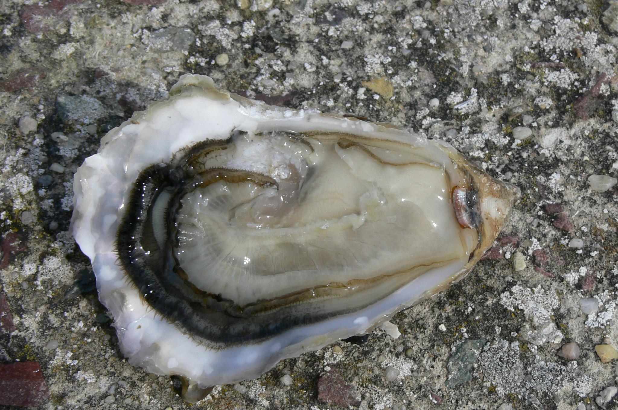 poches a huîtres